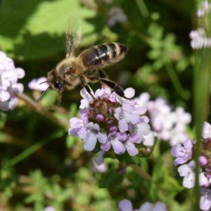 Photo d'une abeille butinant une fleur de thym