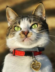 Médaille chat gravée avec le numéro de la puce